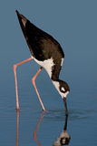 Black-necked Stilt Stock Photography