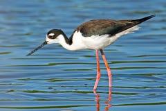 Black-necked Stilt. Walking in marsh stock photo