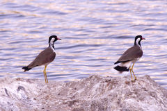 Black-necked Stilt Royalty Free Stock Image
