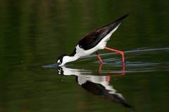 Black-necked Stilt bird Stock Photos