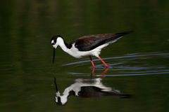 Black-necked Stilt bird Royalty Free Stock Images