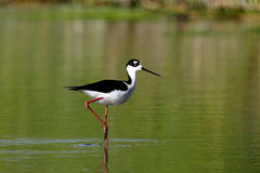 Black-necked Stilt bird Stock Image
