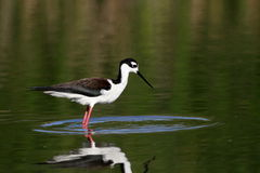 Black necked Stilt Royalty Free Stock Image