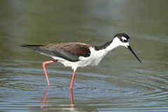 Black-necked Stilt bird Stock Images