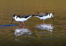 Black Necked Stilt Birds. Two Black Necked Stilt birds Wading in the Water looking for food royalty free stock photo