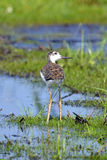 Black-necked Stilt Chick Stock Photography