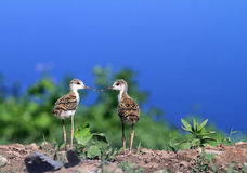 Black-necked stilt chicks Stock Image