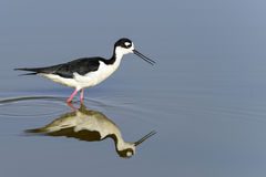 Black-necked stilt, don edwards nwr, ca Royalty Free Stock Image