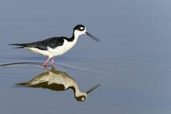 Black-necked stilt, don edwards nwr, ca. Usa royalty free stock image