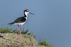 Black-necked stilt, don edwards nwr, ca. Usa stock photo