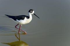 Black-necked stilt, don edwards nwr, ca. Usa royalty free stock images