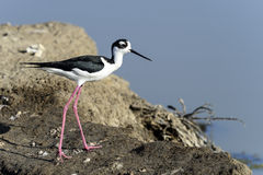 Black-necked stilt, don edwards nwr, ca Royalty Free Stock Photography