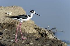 Black-necked stilt, don edwards nwr, ca. Usa royalty free stock photography