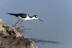 Black-necked stilt, don edwards nwr, ca Royalty Free Stock Photos