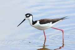 Black-necked Stilt - Everglades National Park Royalty Free Stock Photo