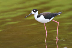 Black-necked Stilt - Everglades National Park Stock Photography