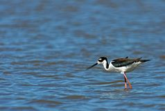 Black Necked Stilt Fishing. Black Necked Stilt (Himantopus mexicanus) fishing with lots of room for copy stock photos