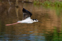 Black Necked Stilt in Flight Royalty Free Stock Image