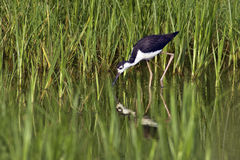 Black-Necked Stilt Foraging Stock Photos