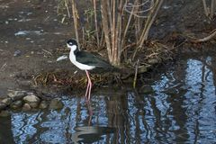 Black-necked Stilt forqages for food along the shore stock image