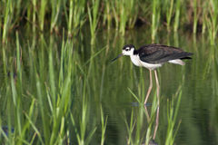 Black-Necked Stilt in Habitat Royalty Free Stock Photography