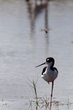 Black-Necked Stilt (Himantopus mexicanus). A black-necked stilt (Himantopus mexicanus) in a coastal Florida marsh Royalty Free Stock Photography