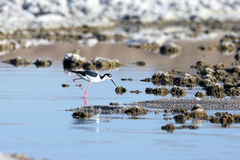 Black-necked Stilt, Himantopus mexicanus Royalty Free Stock Images