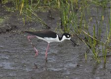 Black necked stilt (Himantopus mexicanus) Stock Photography