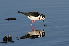 Black-necked Stilt (Himantopus mexicanus) Royalty Free Stock Photo