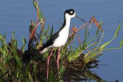 Black-necked Stilt (Himantopus mexicanus) Royalty Free Stock Images