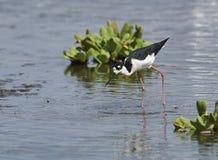Black-necked Stilt Himantopus mexicanus foraging on edge of Lake Chapala. Ajijic, Jalisco, Mexico stock photos