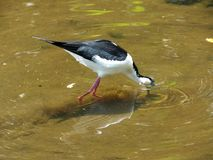 Black-necked Stilt (Himantopus mexicanus) Stock Image