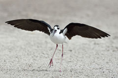 Black-necked stilt (Himantopus mexicanus) Stock Photography