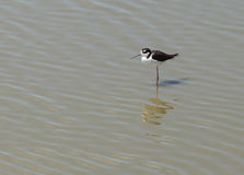 Black-necked stilt, Himantopus mexicanus, shore bird Stock Image