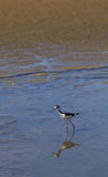 Black-necked stilt, Himantopus mexicanus Royalty Free Stock Image