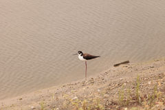 Black-necked stilt, Himantopus mexicanus, shore bird Stock Photos
