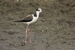 Black-necked stilt, Himantopus mexicanus, Stock Photo