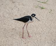 Black-necked stilt, Himantopus mexicanus, a bird, black with a white neck, with long legs, walking on the sand. Black-necked stilt, Himantopus mexicanus, a small royalty free stock photos