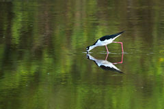 Black-necked stilt hunting crustaceans in the everglades. Royalty Free Stock Photos