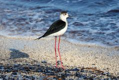 Black necked stilt long legs bird in south France coastal avian flying and fishing in the ocean. Sea animal Stock Images