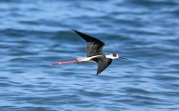 Black necked stilt long legs bird in south France coastal avian flying and fishing in the ocean. Sea animal Stock Images