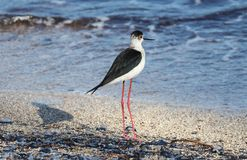 Black necked stilt long legs bird in south France coastal avian flying and fishing in the ocean. Sea animal Royalty Free Stock Photography
