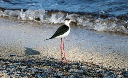 Black necked stilt long legs bird in south France coastal avian flying and fishing in the ocean. Sea animal Royalty Free Stock Photo