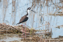 Black-necked Stilt. In the marsh royalty free stock images