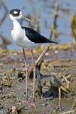 Black-necked Stilt in Marsh Royalty Free Stock Image