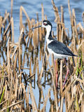 Black-necked Stilt in Marsh Stock Photography