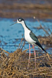 Black-necked Stilt in Marsh Royalty Free Stock Images