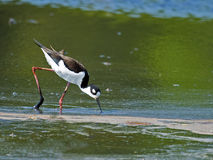 Black-necked Stilt in Marsh Royalty Free Stock Photos