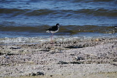 Black Necked Stilt at Salton Sea California Royalty Free Stock Photography