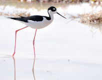 Black Necked Stilt. A shore bird whose range extends from eastern Brazil to Montana, the black necked stilt has long, thin red legs and a long narrow bill Stock Photography